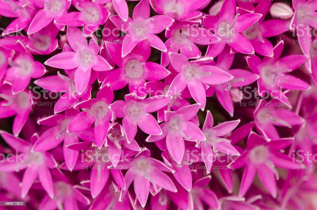 Egyptian Star Cluster or Pentas Lanceolata flowers stock photo