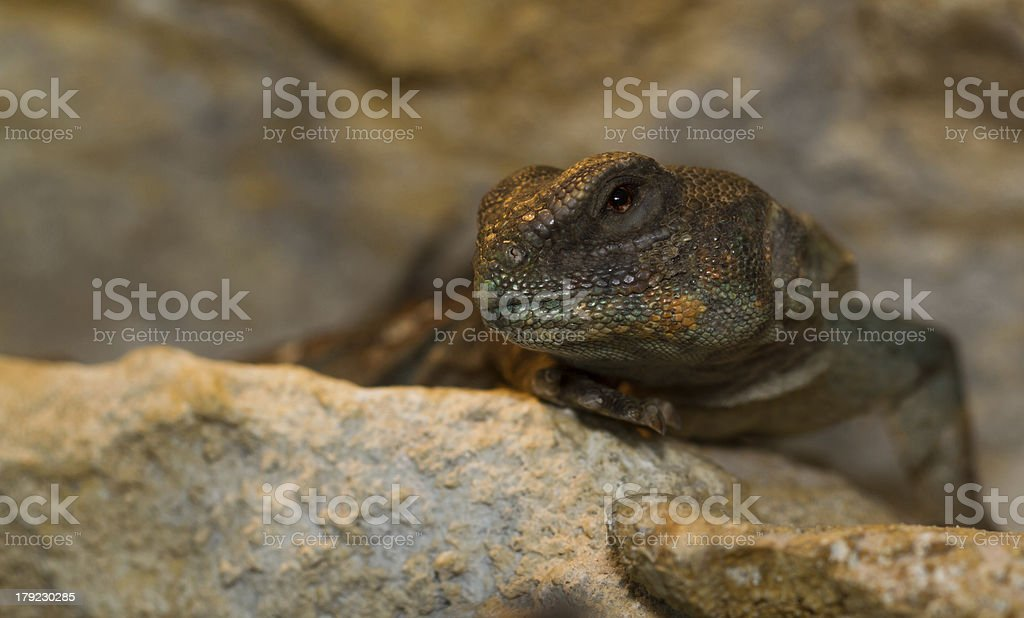 Egyptian Uromastyx royalty-free stock photo