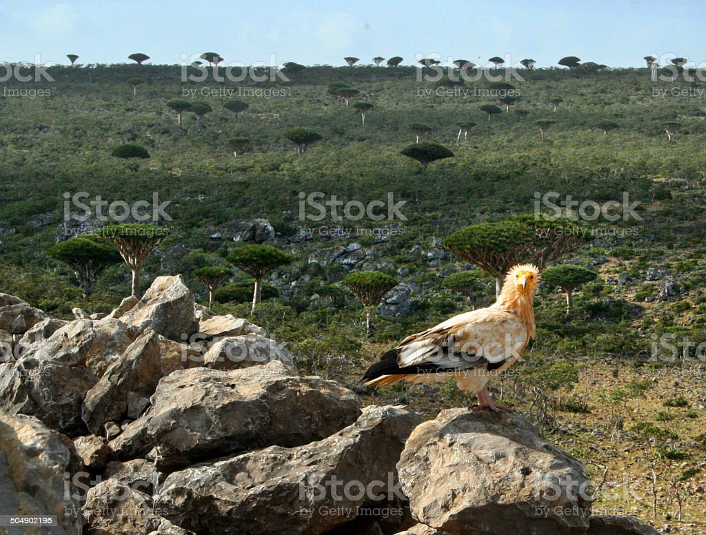 Egyptian vulture and dragon blood trees on Socotra stock photo