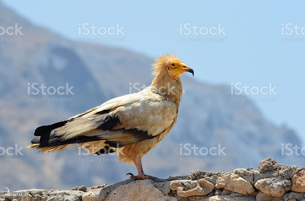 Egyptian vulture (Neophron Percnopterus) Egyptian vulture (Neophron Percnopterus) sits on the stone stock photo