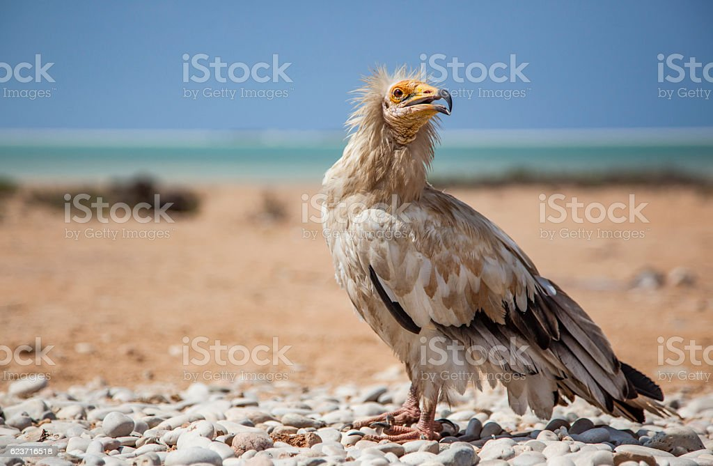 Egyptian vulture in Socotra stock photo