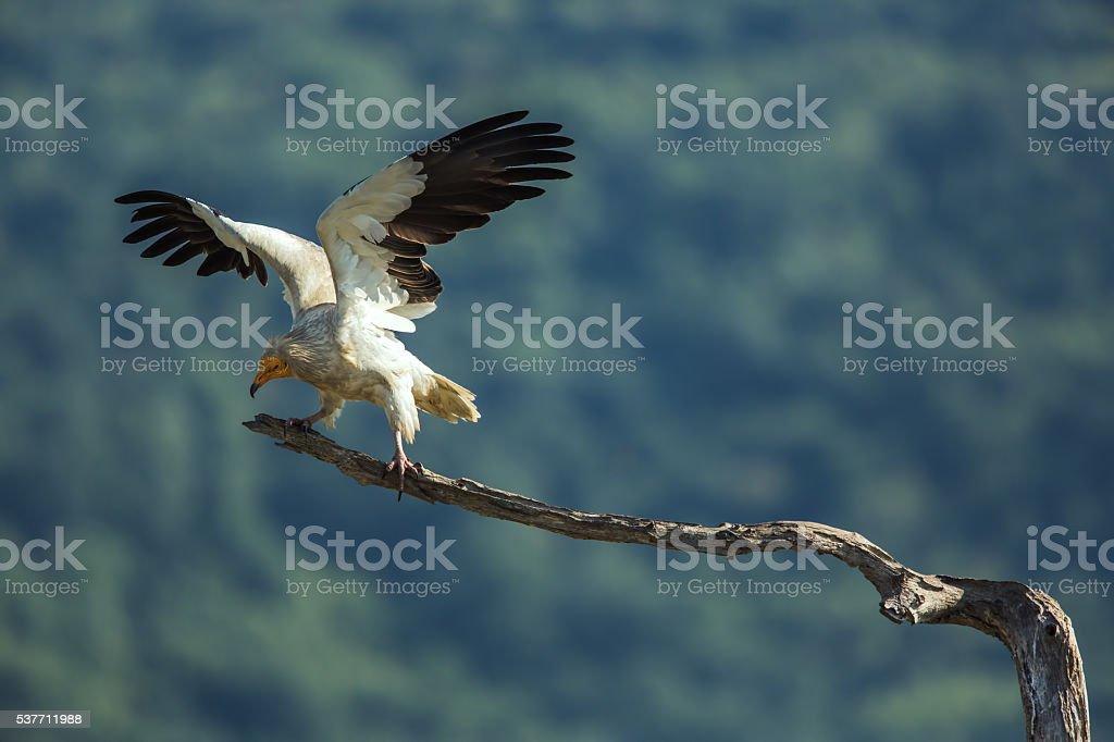 Egyptian vulture  in Wildlife Reserve Madjarovo, Bulgaria stock photo