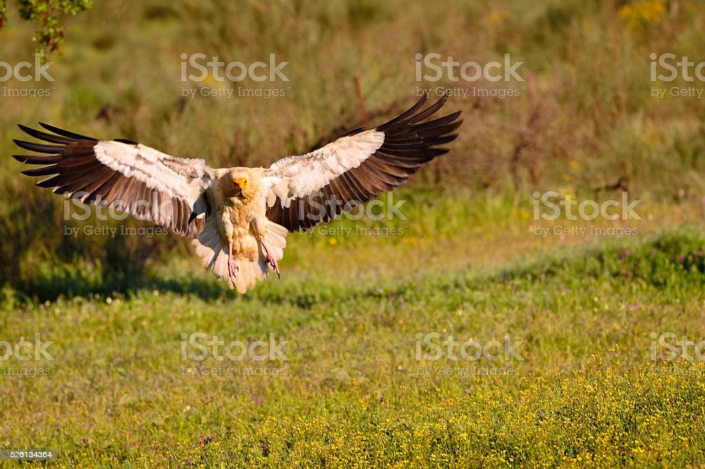 Egyptian vulture landing with outstretched wings. stock photo