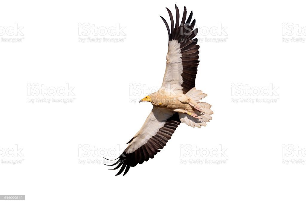 Egyptian vulture, Neophron percnopterus stock photo