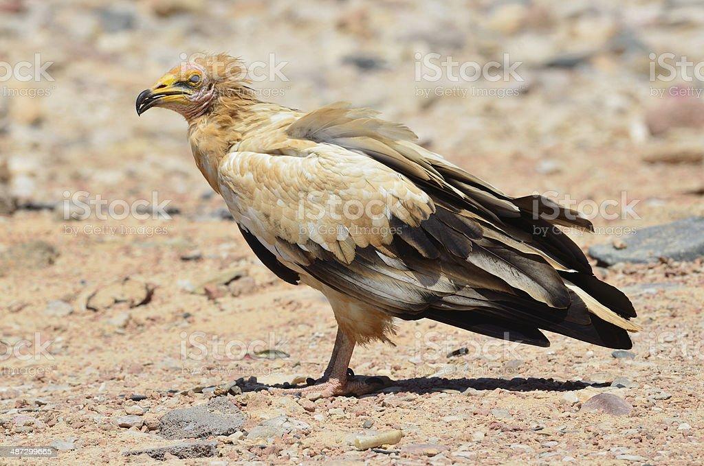Egyptian vulture (Neophron Percnopterus) on  Socotra island stock photo