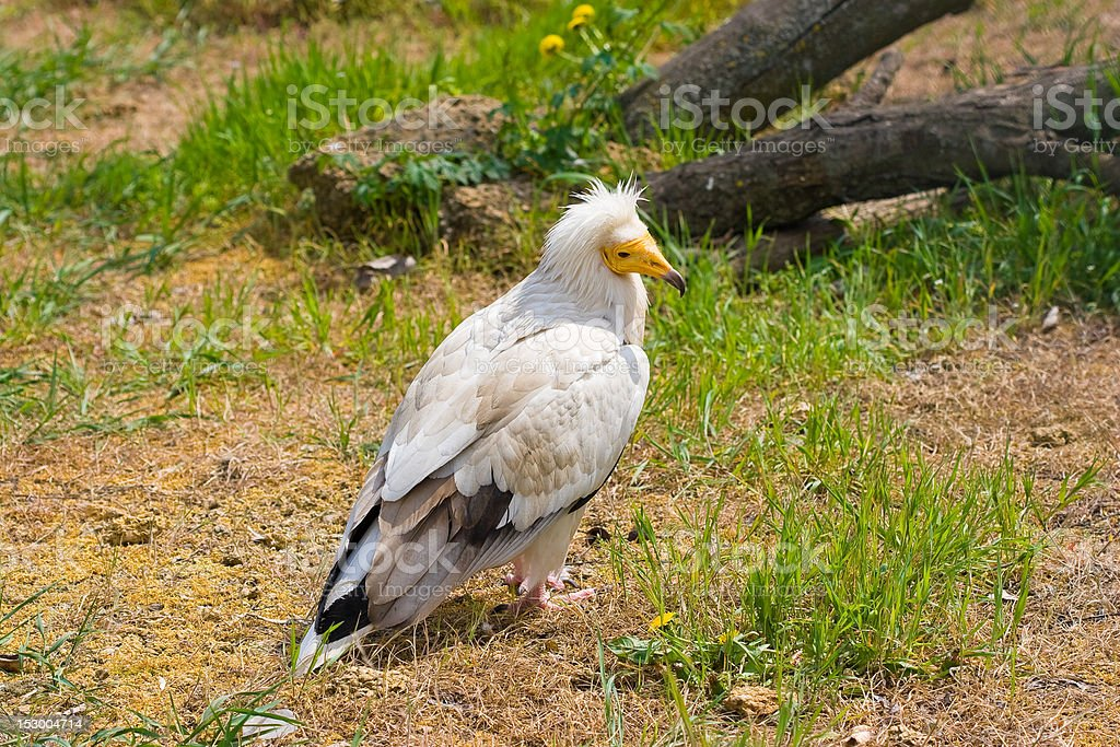 Egyptian vulture (Neophron percnopterus) stock photo