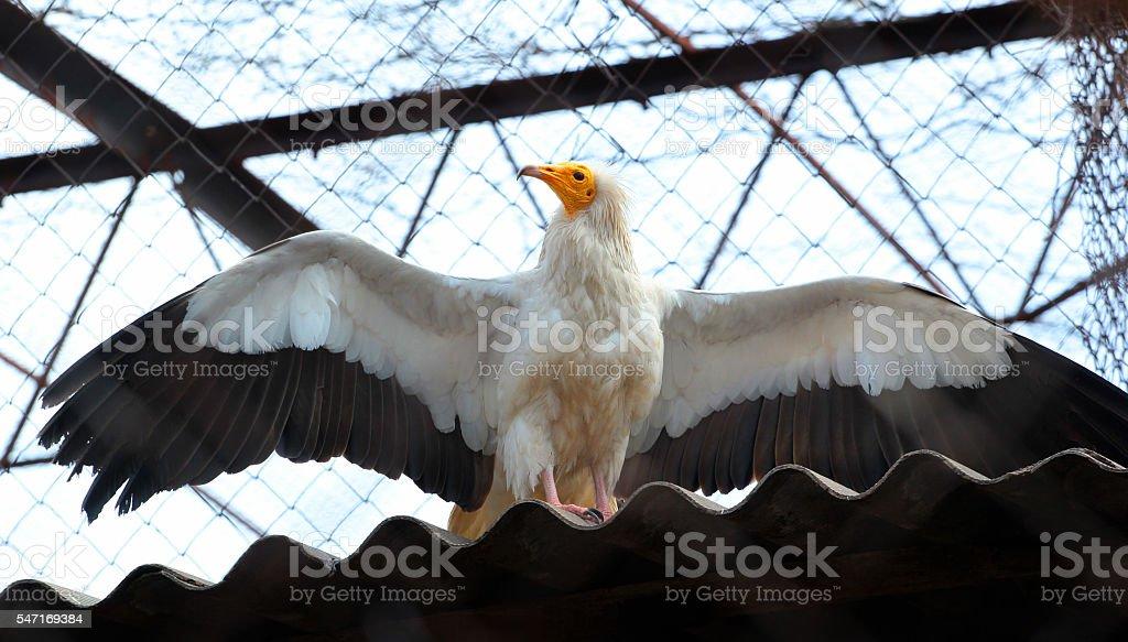 Egyptian Vulture (Neophron Percnopterus) stock photo