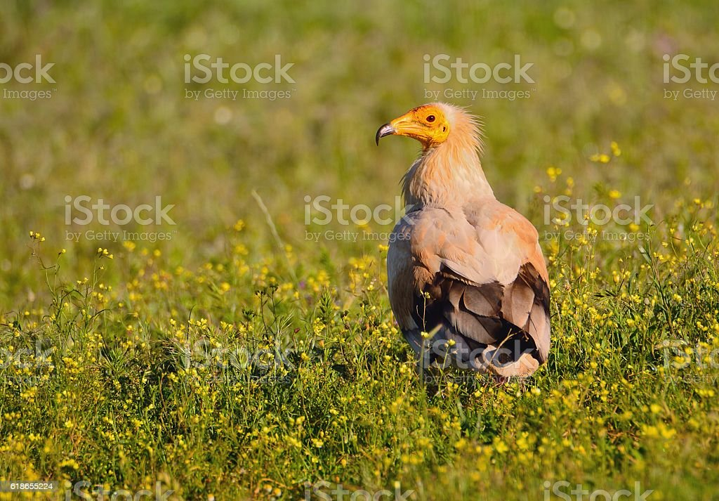 Egyptian vulture. stock photo