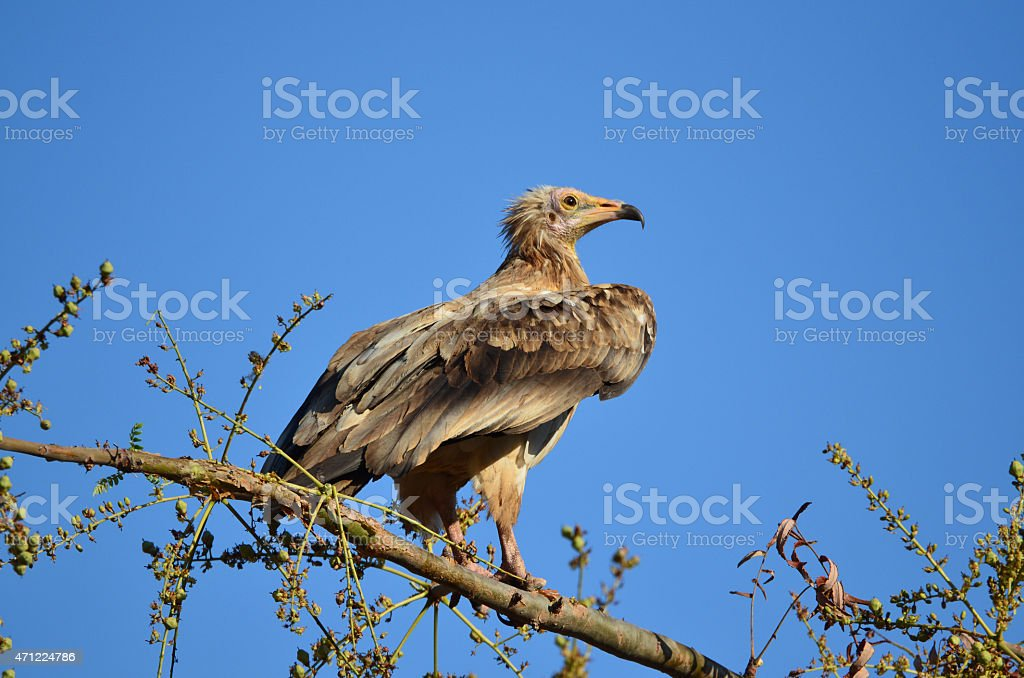 Egyptian vulture (Neophron Percnopterus) sits on the branch stock photo