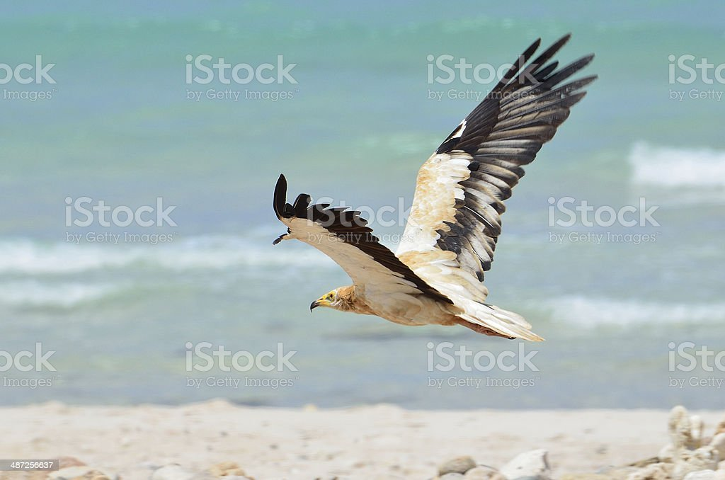 Egyptian vultures (Neophron Percnopterus) on the beach of Arabian sea stock photo