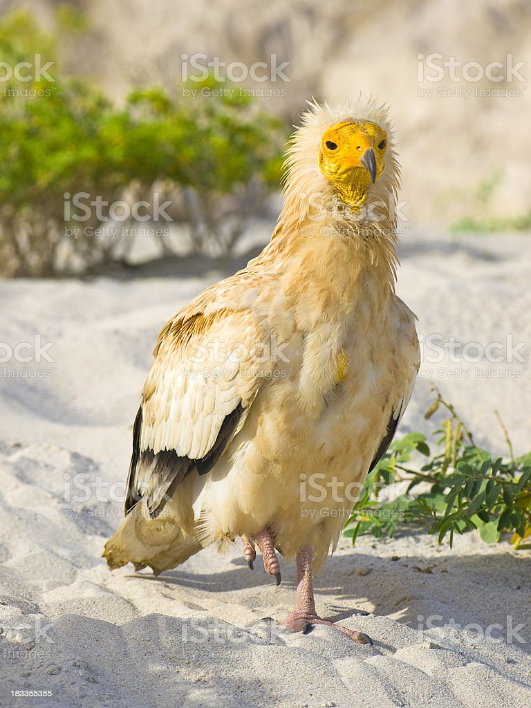 Egyptian Vultures stock photo