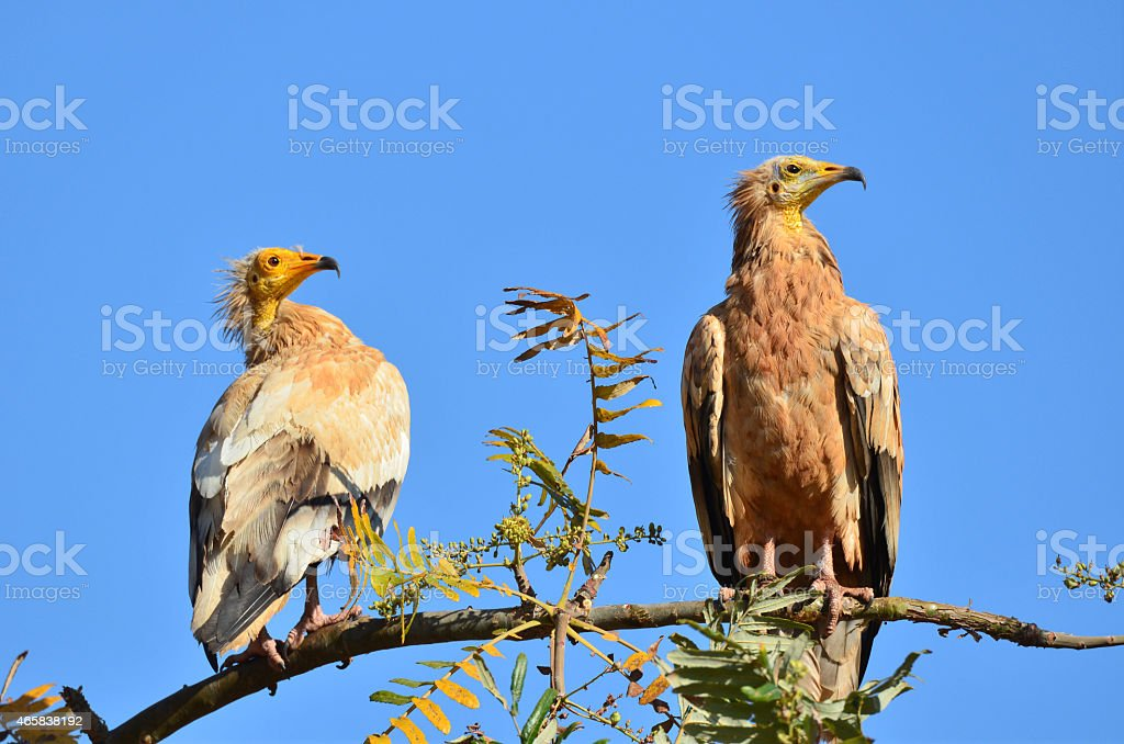 Egyptian vultures sits on the branch, Socotra stock photo