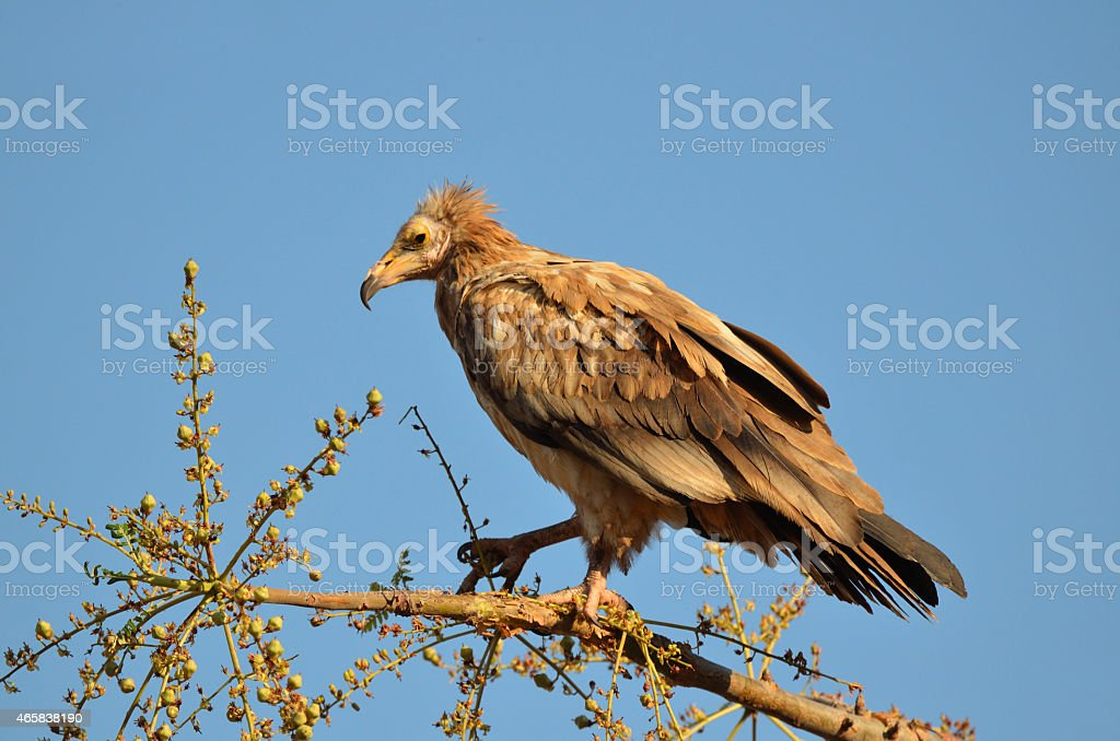 Egyptian vultures (Neophron Percnopterus), Socotra, Yemen stock photo