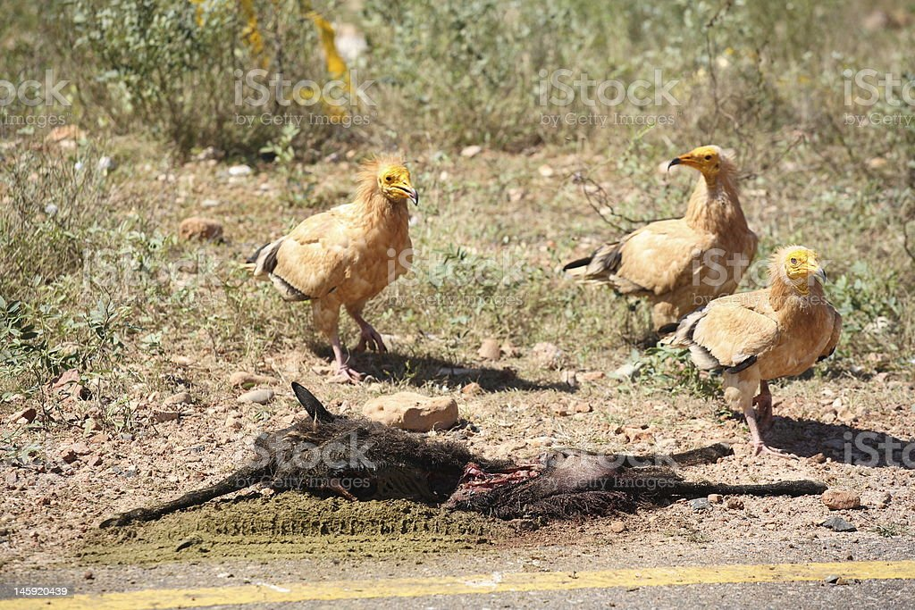 Egyptian Vultures with the goat's dead body stock photo