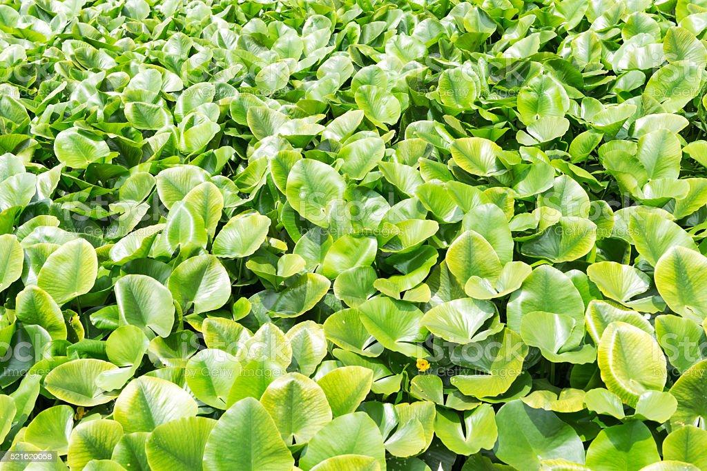 Eichhornia crassipes stock photo