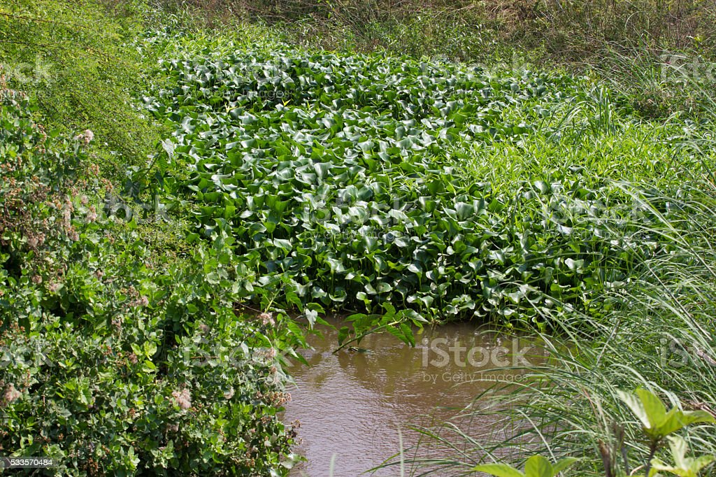 Eichornia crassipes in dirty river, India, Andaman islands stock photo
