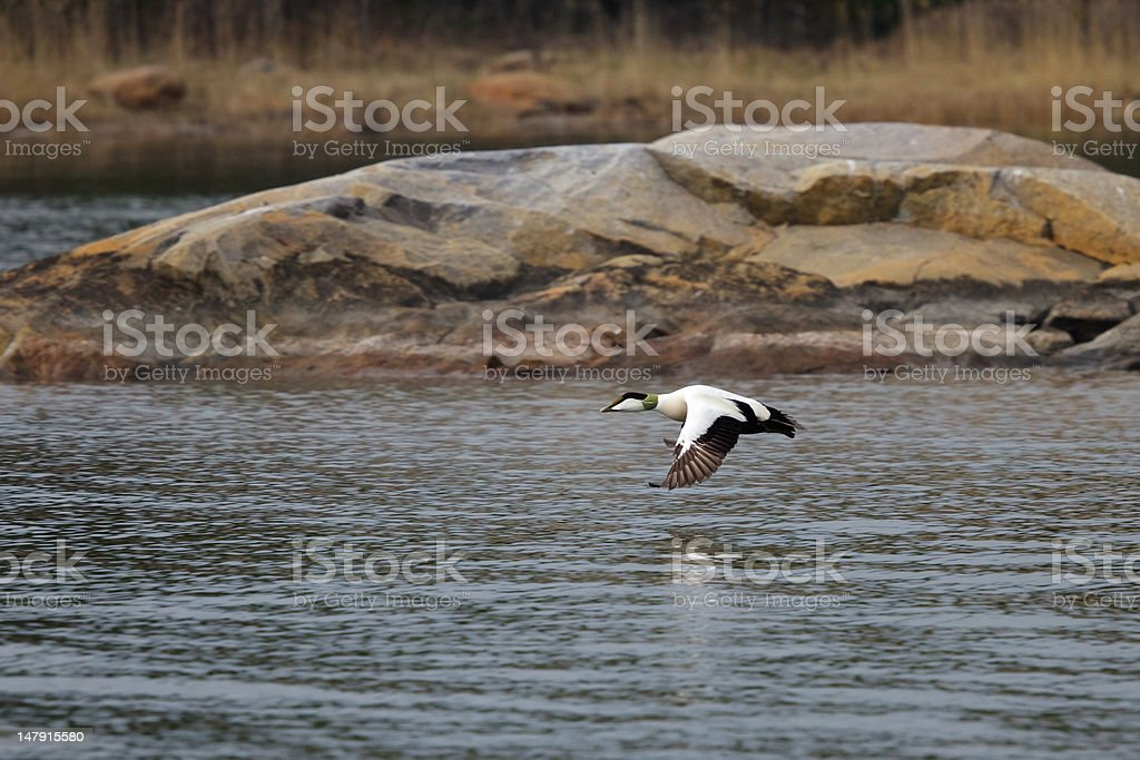 Eider male royalty-free stock photo
