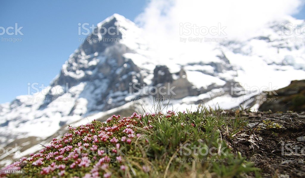 Eiger, North Face, with flowers royalty-free stock photo