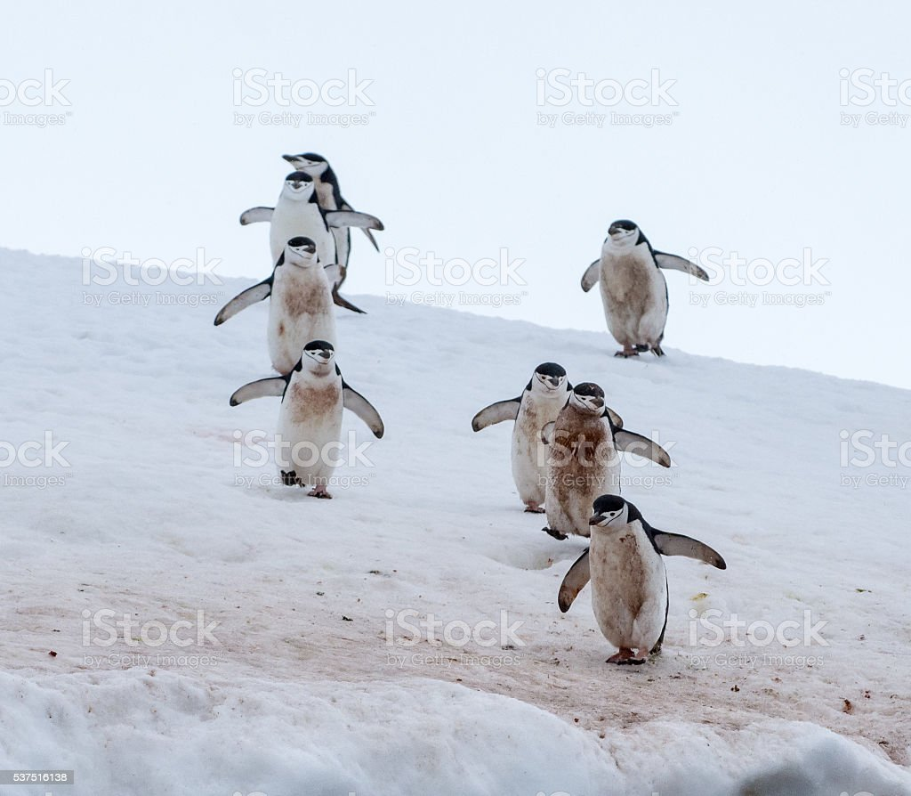 Eight Chinstrap penguins walking in snow in Antarticta stock photo