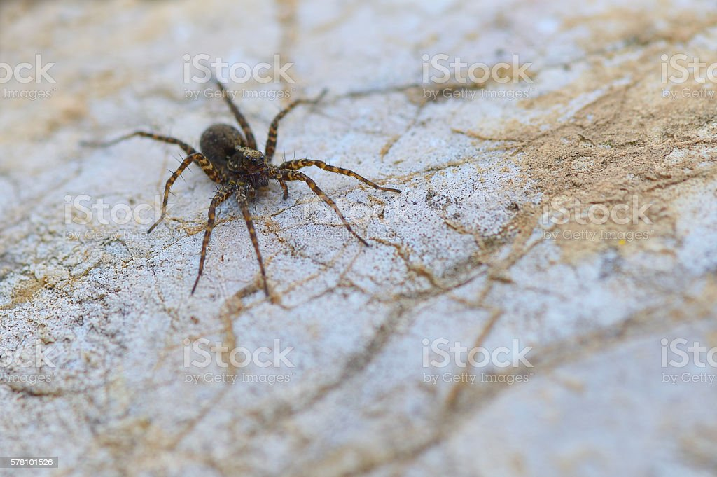 Eight legged brown wolf-spider on a rock close-up stock photo