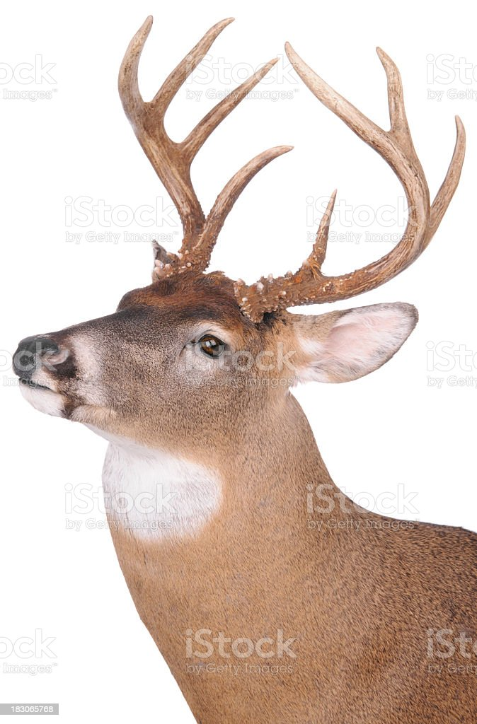 Eight point buck on white background stock photo