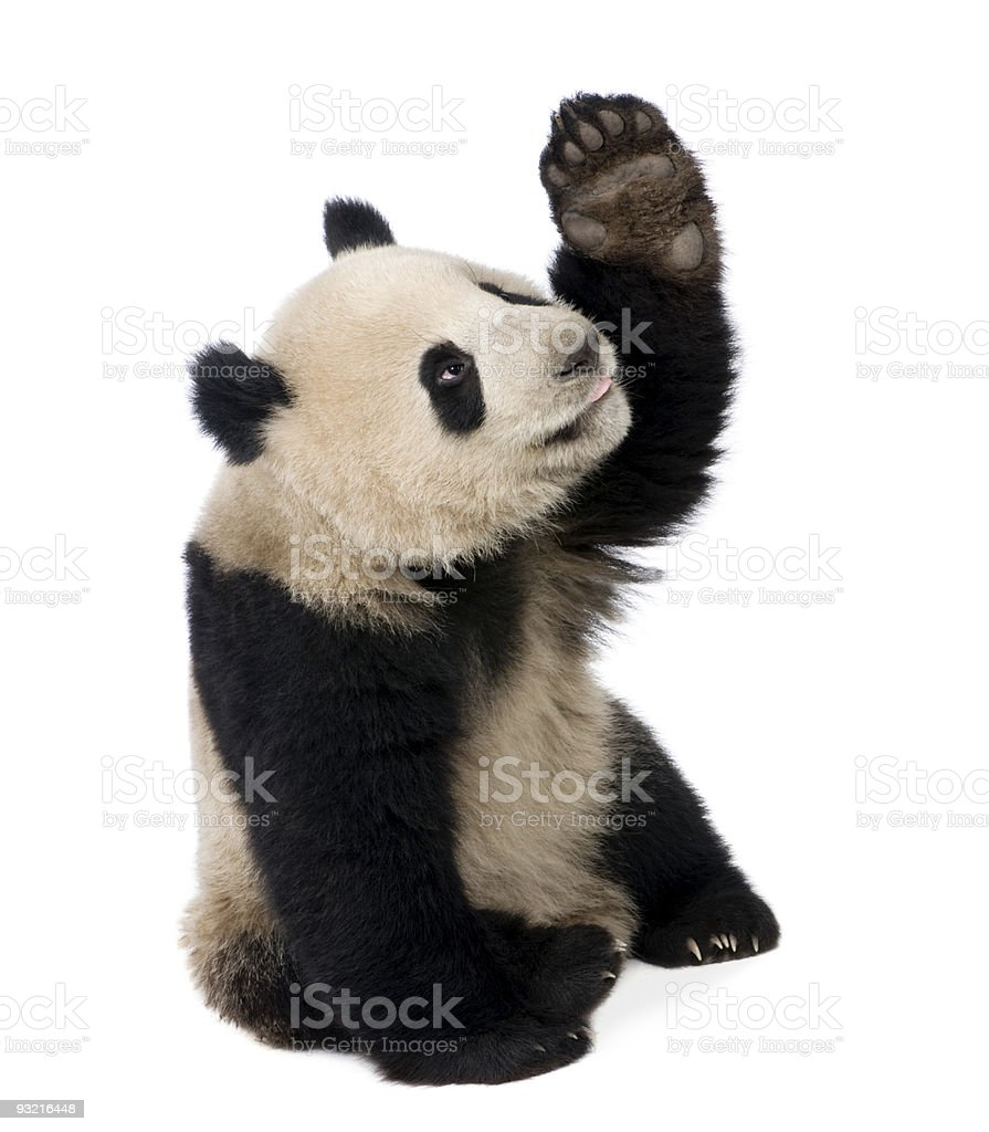 Eighteen month old panda bear pawing at the air stock photo