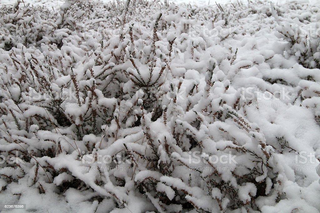 Eingeschneites Heidekraut - Snowed heather stock photo