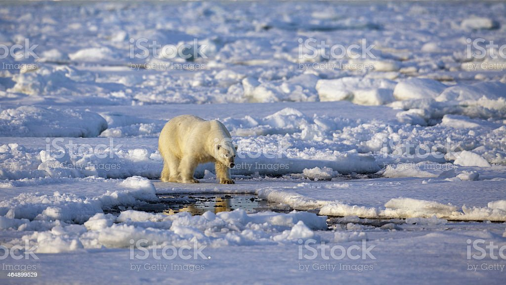 Eisbaer, Thalarctos maritimus,  polar bear stock photo