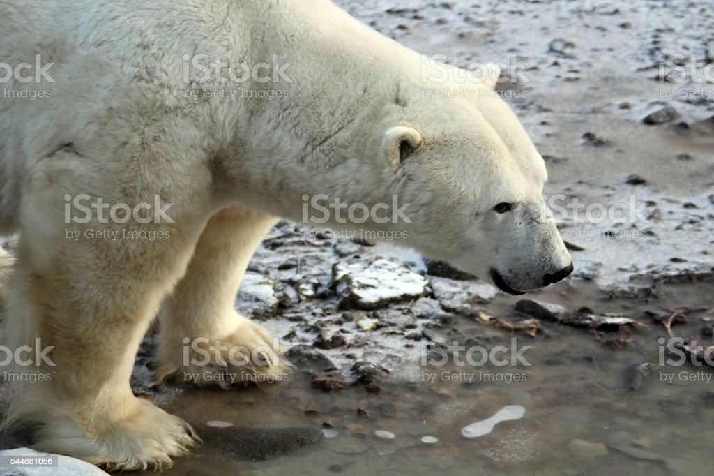 Eisbär stock photo