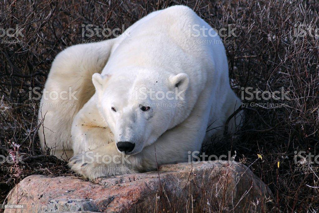 Eisbär-Hudson Bay Kanada stock photo