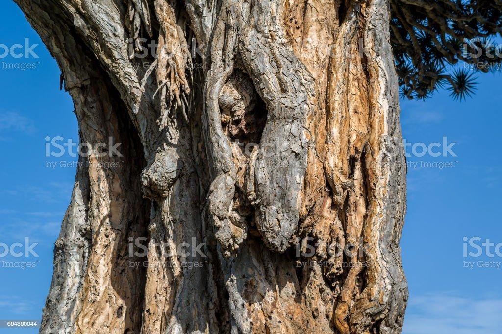 El Drago famous draceana tree stock photo