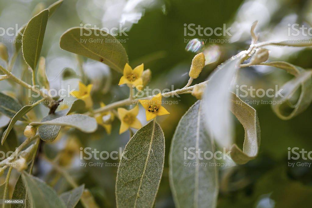 Elaeagnus angustifolia; stock photo