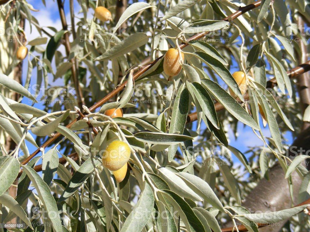 elaeagnus tree and ripe fruits stock photo