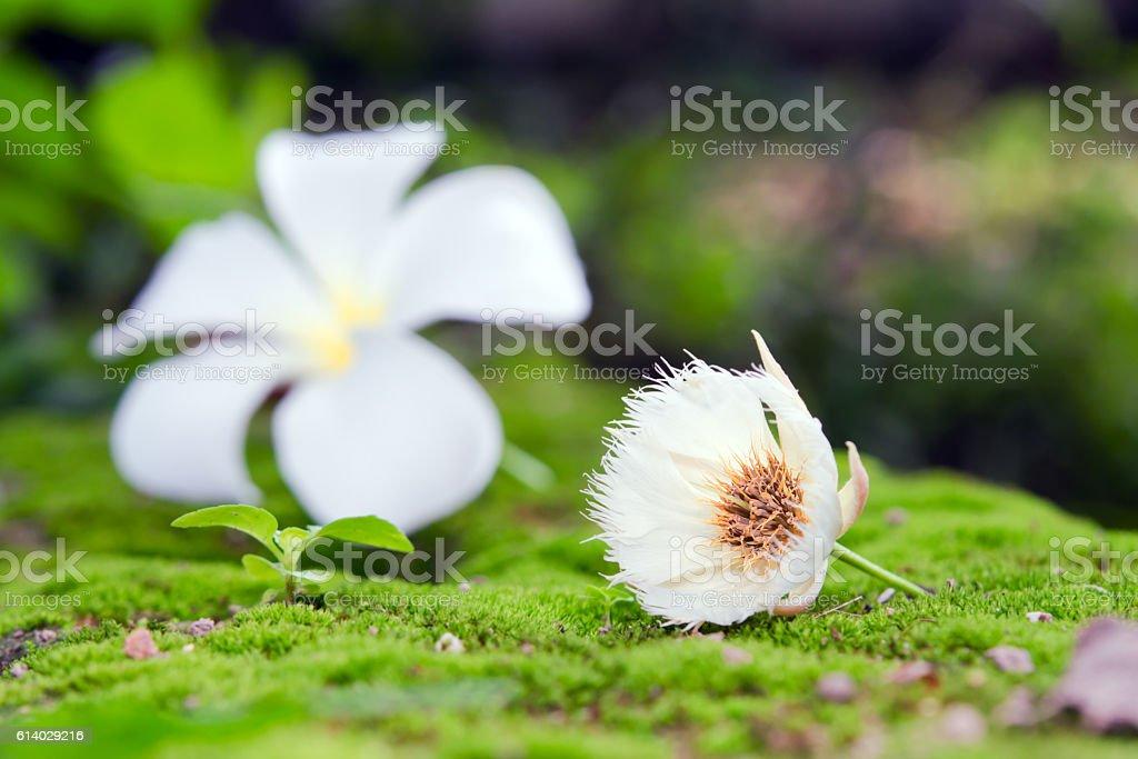 Elaeocarpus hainanensis or Elaeocarpus grandifloras flower on mo stock photo
