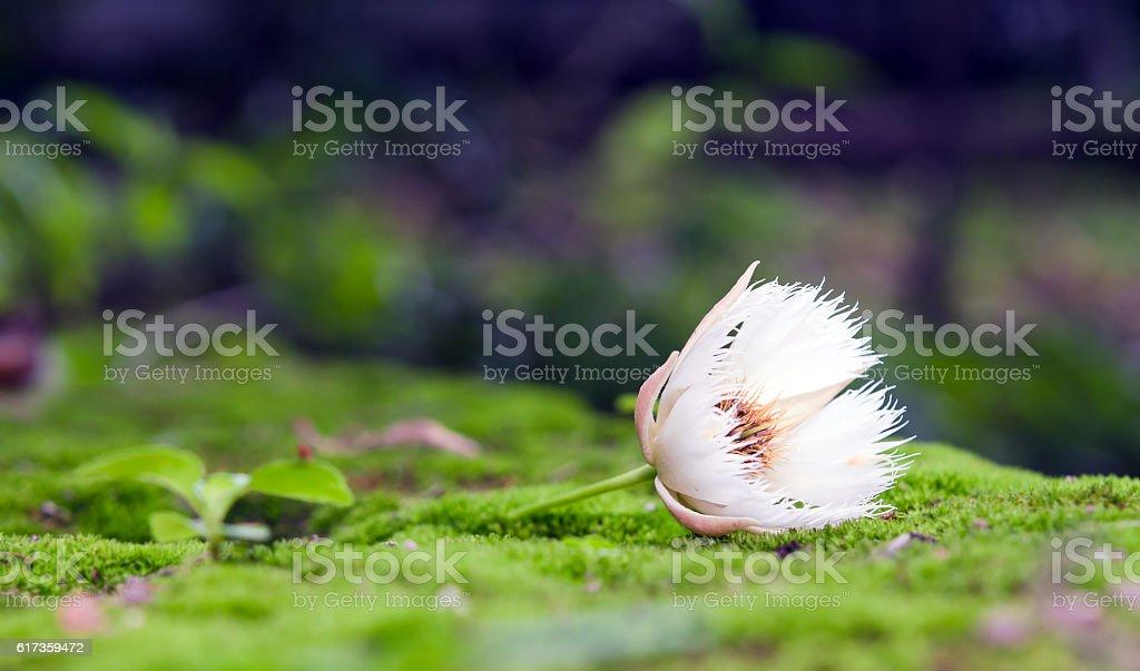 Elaeocarpus hainanensis or Elaeocarpus grandifloras flower on moss stock photo