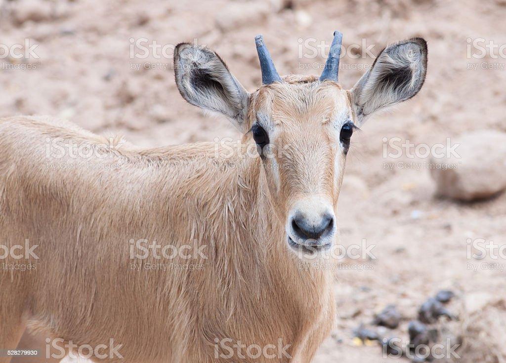 Eland antelop cub in zoo royalty-free stock photo