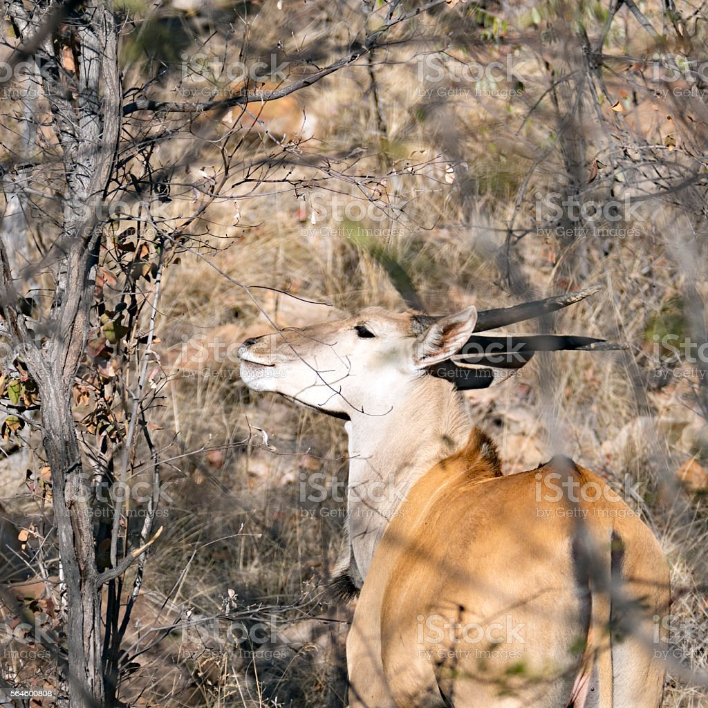 Eland antelope in the bushes, South Africa stock photo