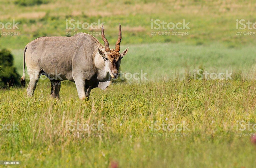 Eland bull zbiór zdjęć royalty-free