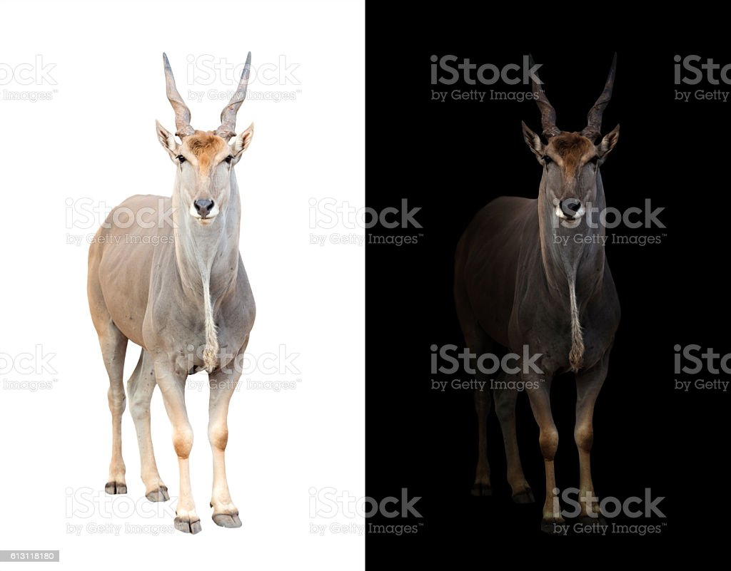 eland in dark and white background stock photo