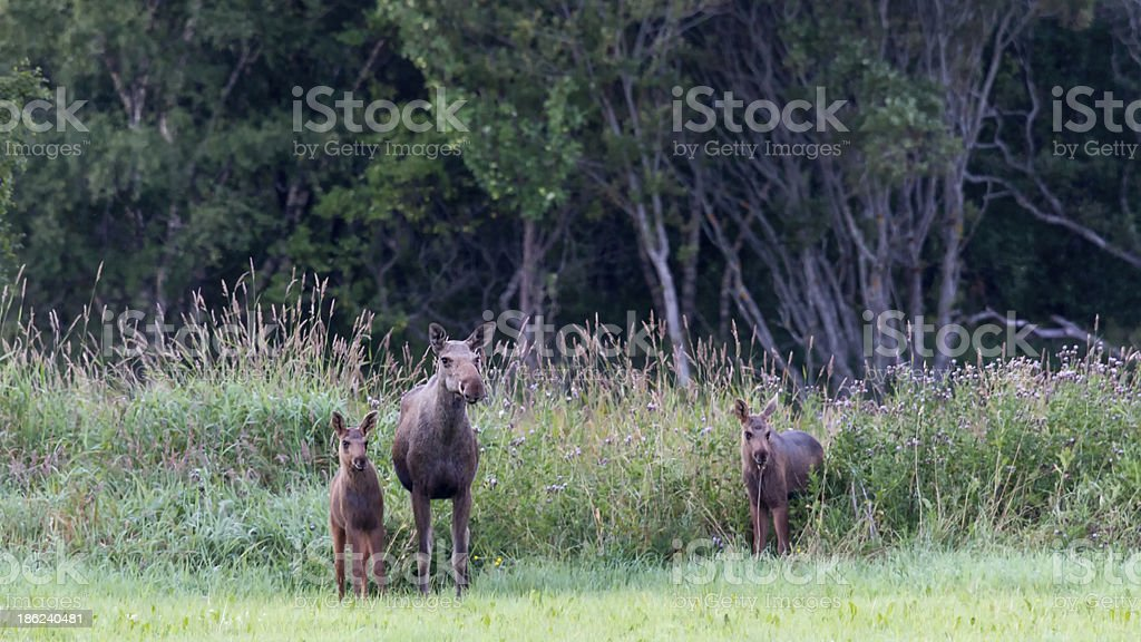 Elch, Moose - female and two calves stock photo