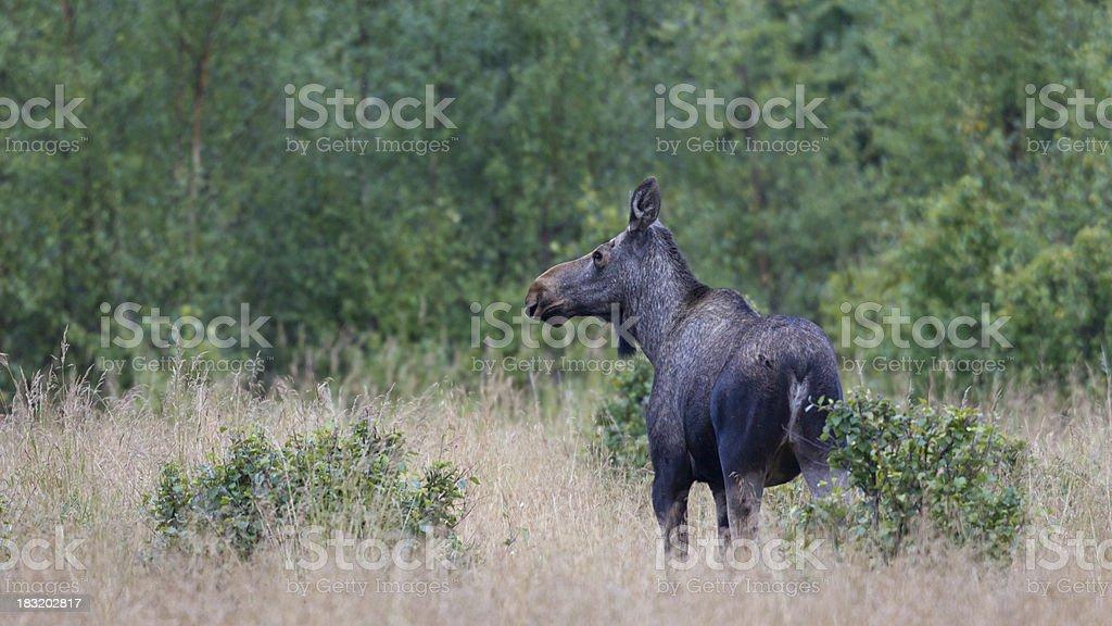 Elch, Moose - female stock photo