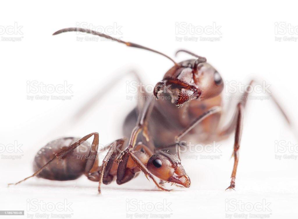 elder dominants force young ants to submit royalty-free stock photo