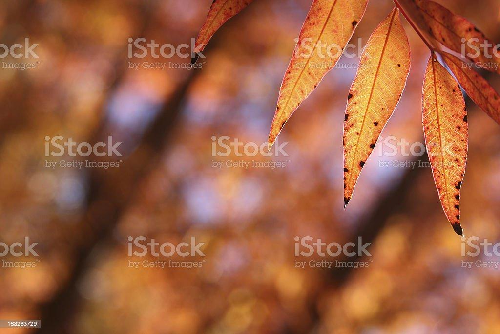 Elder Leaves stock photo