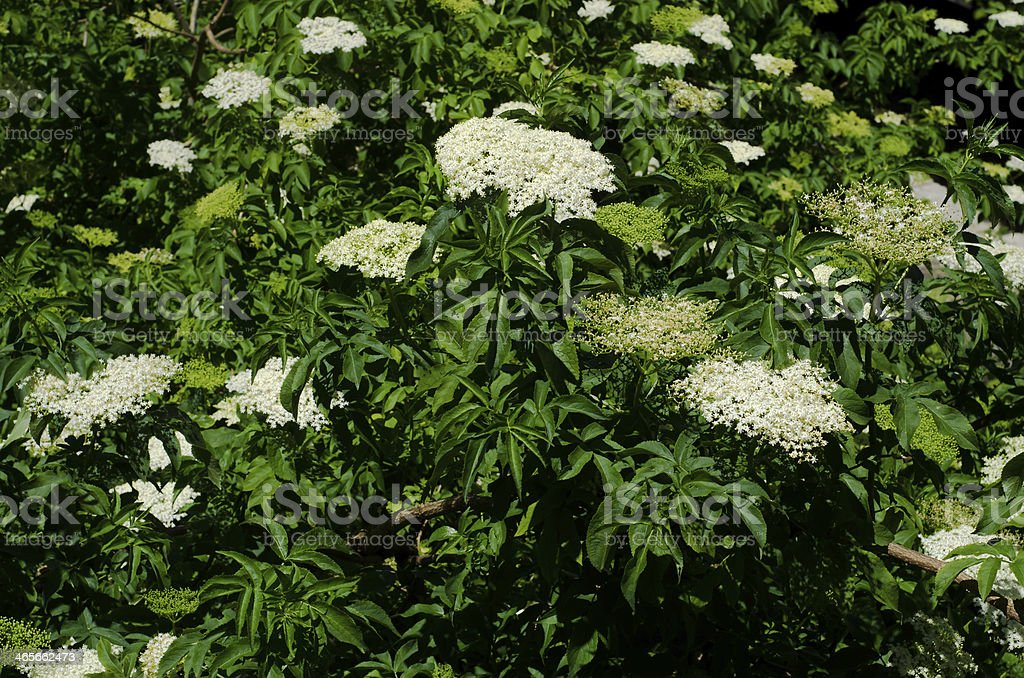 Elder tree royalty-free stock photo