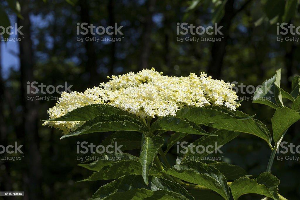 Elderberry Blossom royalty-free stock photo