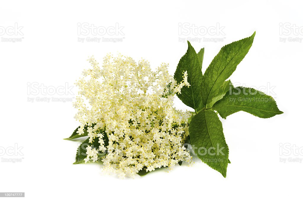 elderberry flower on white royalty-free stock photo