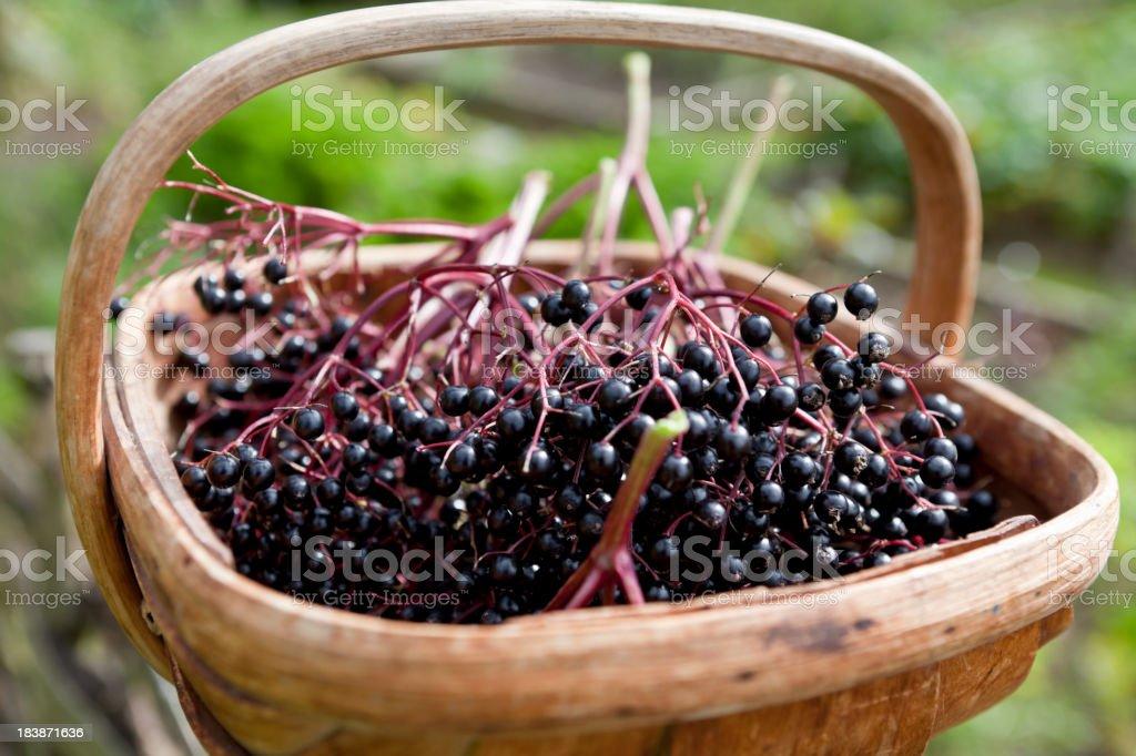 Elderberry Harvest royalty-free stock photo