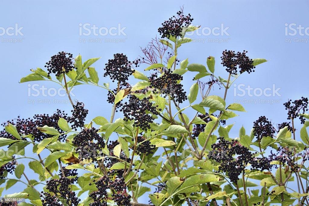 Elderberry royalty-free stock photo