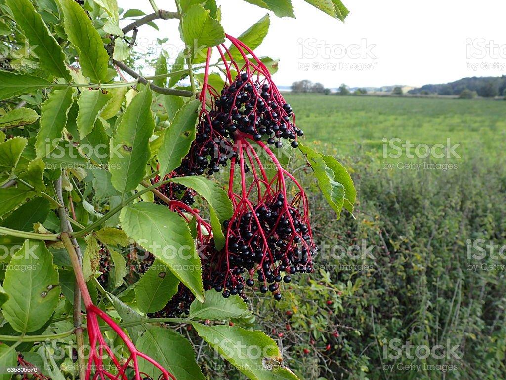 Elderberry stock photo