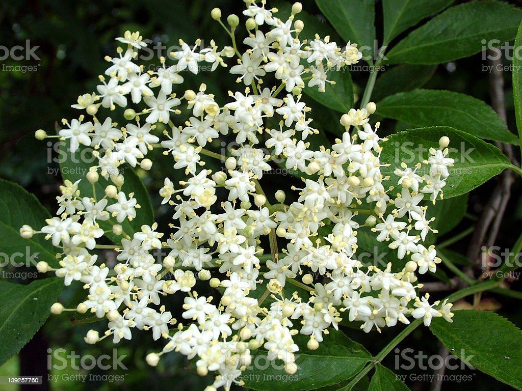 elderflower royalty-free stock photo